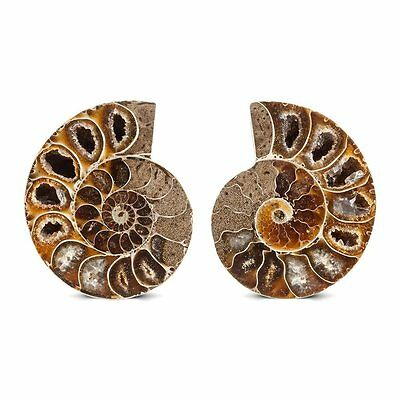 "Ammonite Fossil Pair 2-2.5"" Size Wholesale Lot 2500cts Gemstone Cabochon"