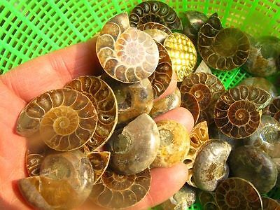 Ammonite Fossil Pair 0.5-1 inch Size Wholesale Lot 2500cts Gemstone Cabochon
