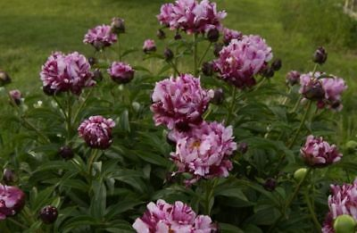 Peony Circus Circus- 1 middle size tubers-3-5 eye division   bareroot