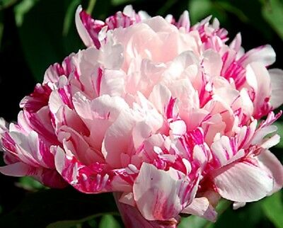 PEONY 'RASPBERRY CLOWN'-1  middle size tuber-3-5 eye division-  bareroot