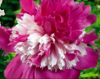 Peony Celebrity small bare root plant-Exclusive rare- 2-4 eyes
