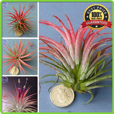 5 pcs ,Tillandsia ionantha Guatamala seeds ,airplant succulent-NEW