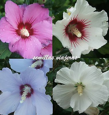 Hibiscus syriacus mix, hibisco , 20 semillas , seeds , graines , samen