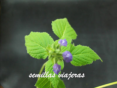 Salvia hispanica, Chia, 400 semillas, graines, samen, seeds, sementes, semi
