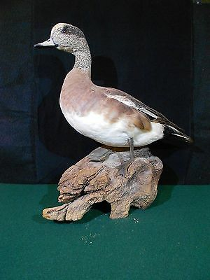 American Wigeon Drake Standing Bookshelf Taxidermy Mount on Natural Diftwood