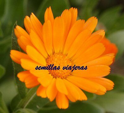 Calendula officinalis , 50 semillas, graines, samen, seeds, semi