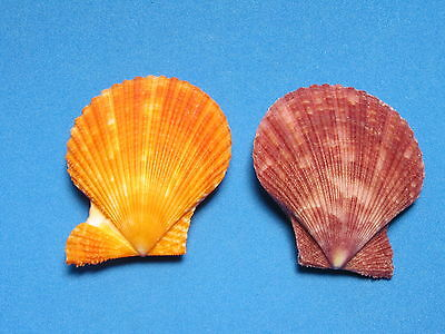 "Pecten crassicostata Sowerby II, 1842 ""COLORED PAIR""  (41.5mm & 43.6mm)"