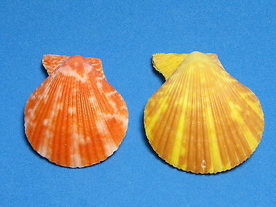 "Pecten (mimachlamys) gloriosa Reeve, 1853 ""COLOR PAIR""  (38.5mm & 41.7mm)"