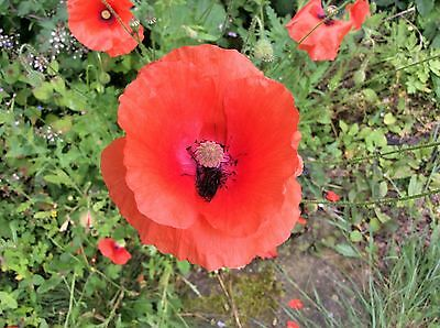 Wild Flower Poppy Seeds Native Meadow Bee Insect Friendly Garden Annual