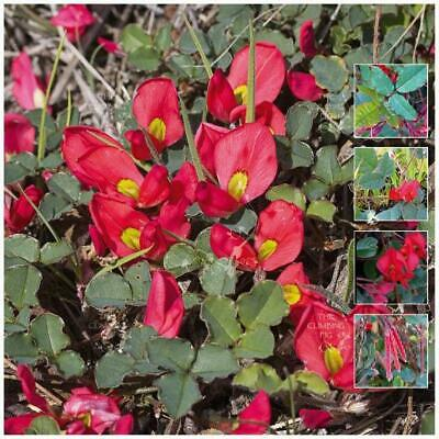 "Kennedia Eximia ""Fine Red Creeper"" seeds 