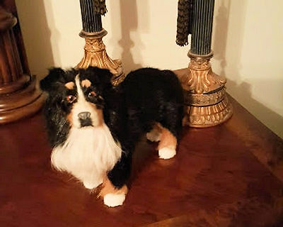 Collie Black/White Standing Collectible Goat Hair Photo Prop Mannequin Dog