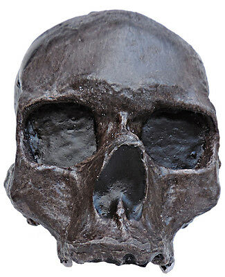 Skull of Homo sapiens from Mladec (The Czech Republic)  - cast of resin