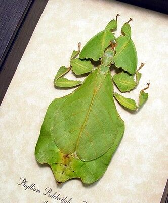 Real Framed Phyllium Pulchrifolium Natural Mount Giant Leaf Insect 7981N