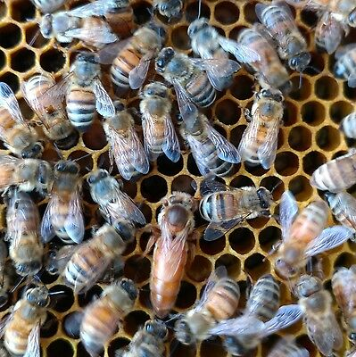 Mated & Marked Italian Queen Bees