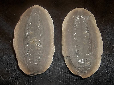 Mazon Creek Fossils Perfect Pecopteris Fern Pit 2 Braidwood, IL Complete Awesome