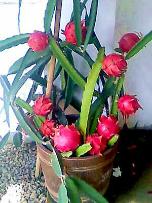Rare Red Dwarf Dragon Fruit- One cut-truly one of god's wonders!