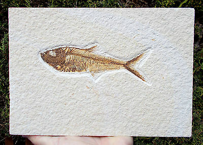 Excellent Fossil Fish - Diplomystus - Green River - 6 inches long. Ref:R.DP2w
