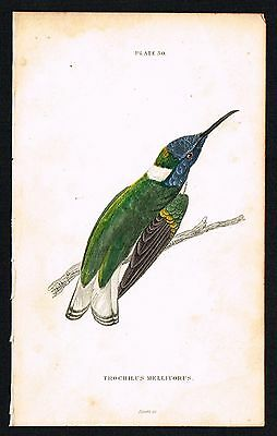 1833 Antique Print - White-Collared Hummingbird, Hand-Colored Engraving, Jardine