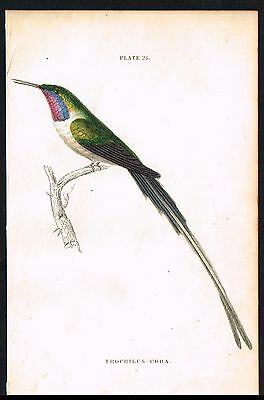 1833 Antique Print - The Cora Hummingbird, Hand-Colored Engraving, Jardine
