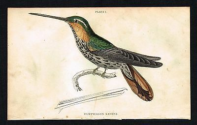 1833 Antique Print - Spotted Saw-Billed Hummingbird, Hand-Colored Engraving