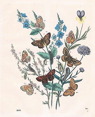 1859 - Schmetterlinge Schmetterling butterfly Lithographie lithograph