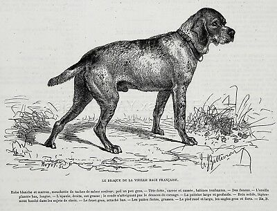 Dog Braque Francais Gascogne French Pointer, 1870s Antique Engraving Print