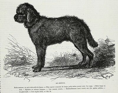 Dog Briquet Griffon Vendéen, Grand GV, Breed ID'd, 1870s Antique Print & Article