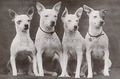 DOG Bull Terrier Miniature Dogs, Vintage Print 1930s