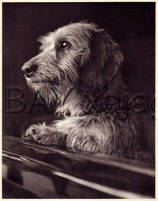 DOG Dachshund Wire-Haired Portrait, Quality Vintage 1941 Print