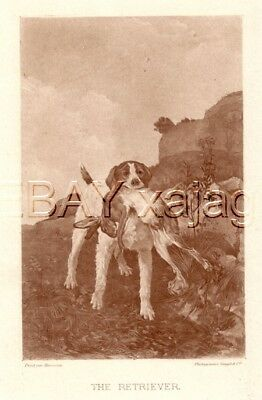 DOG English Setter Llewellin Llewellyn Retrieves Rabbit 1890s Photogravure Print