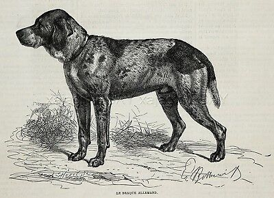 Dog German Shorthaired Pointer Deutsch Kurzhaar, 1870s Antique Engraving Print