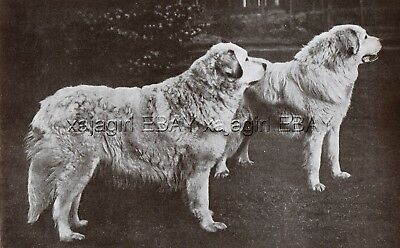 DOG Great Pyrenees Pyrenean Mountain Dog Champion (Named) Vintage Print 1930s