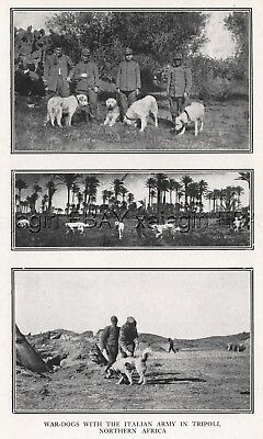 DOG Great Pyrennes or Italian Maremma War Dogs, Rare Antique Print