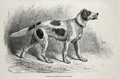 Dog Llewellin Setter English Setter NAMED Laverack 1870s Antique Engraving Print