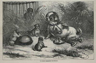 """Dog Pug """"Chinese Edible Food Dog"""" 1870s Antique Print & Long Article About Breed"""