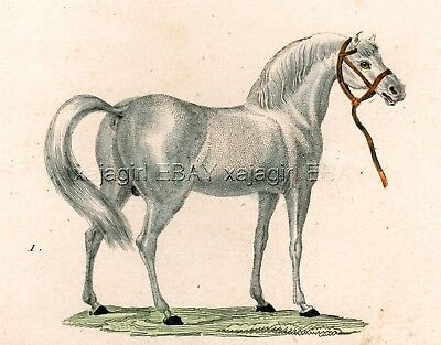 Horse White Arabian Beauty, Antique 1830 Hand-Colored Copper Engraving Print