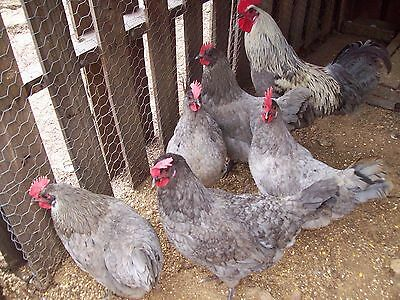 14+ Swedish Blue Isbar chicken hatching eggs Rare!!!