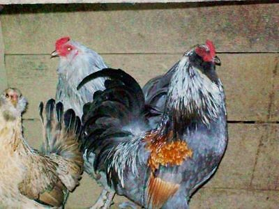 10 ct +  Americauna bantam chicken hatching eggs
