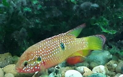Poecilia wingei 39 yellow tiger 39 endlers great community for Live freshwater fish for sale online