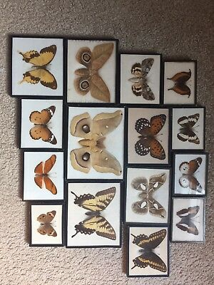Taxidermied Moths And Butterfly Lot