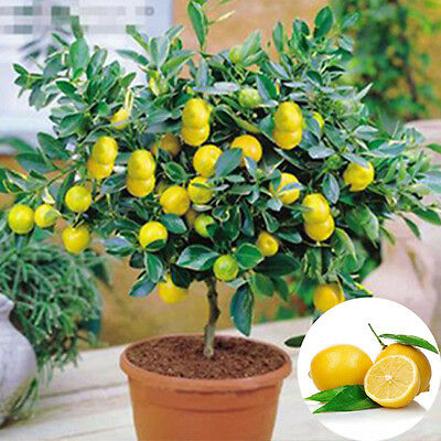 10pcs Heirloom Garden Lemon Tree Seeds Fruit Outdoor Plant Rare Organic Seed New
