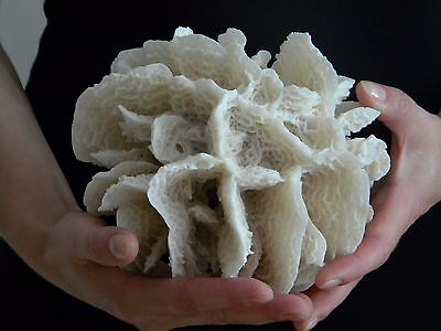 Sea Coral Agaricia agaricites / Scaled Lettuce Coral 183mm off Bahamas ID#3642A