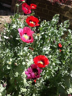 4000 giant mixed poppy flower seeds papaver somniferum gigantimum 4000 giant mixed poppy flower seeds papaver somniferum gigantimum uk homegrown mightylinksfo