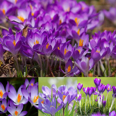 100pc Crocus Seeds Sativus Bulbs Saffron Flowers Best Organic Spice Garden Plant