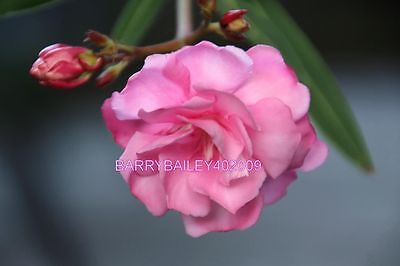 Beautiful Printed Photo 4X6 Photo Paper Print Out   #009Pinkoleander