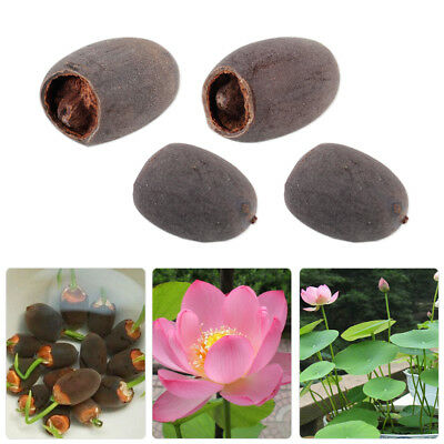 10pc Bowl Lotus Water Lily Pad Nelumbo Nucifera Seeds Potted Pond Plants Flower