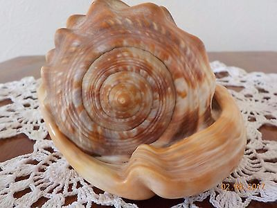 "VINTAGE 1950s/1960s LARGE CONCH SEA SHELL  5"" X 3.5"" X 3.5"" ORNAMENT /DECORATION"