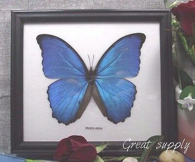 Real Large  Blue Morpho Didius Butterfly Insect Taxidermy Black Framed