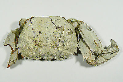 "104 mm FEMALE FOSSIL CRAB, ""macrompthalus latrielli"" FROM QUEENSLAND"