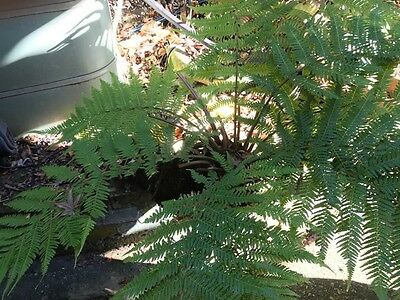 Tree fern  very healthy approximately 1 metre high
